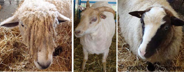 Sheep & Wool Festivalfacesweblarge copy