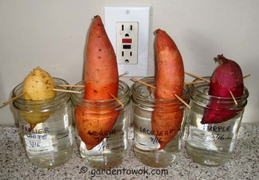 Rooting sweet potatoes