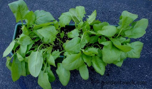 spinach in window box