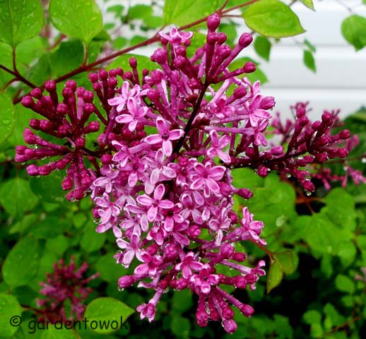 Bloomerang lilacs