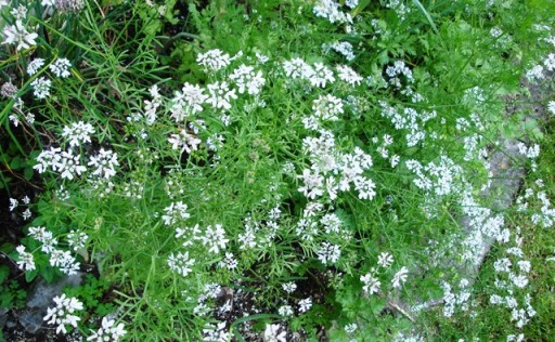 Chinese parsley (cilantro) flowers