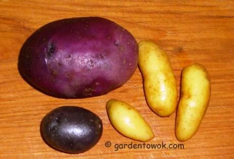 Blue potatoes & fingerlings (5446)