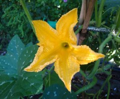 Tromboncino squash flower