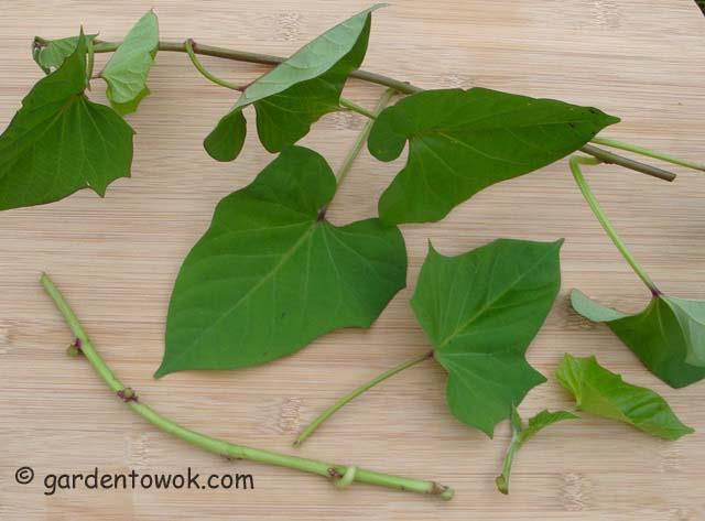 Sweet potato vine (5486)