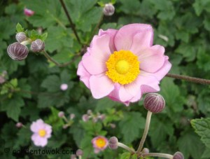 Japanese anemone (5489)