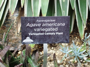 Agave americana variegated