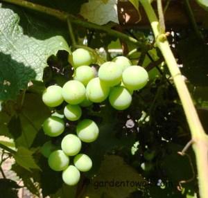 Grapes (5507)