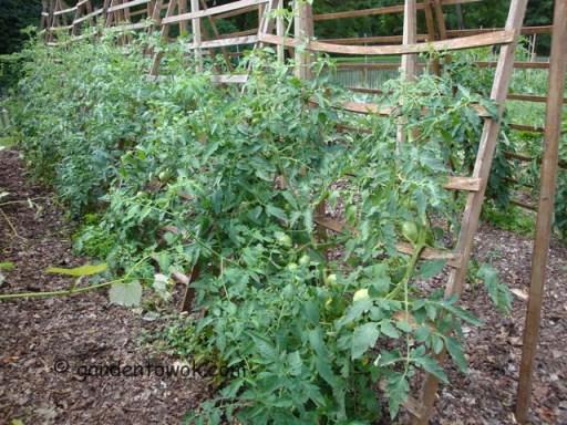 Tomato (5516)