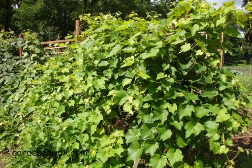 Grapes (5522)