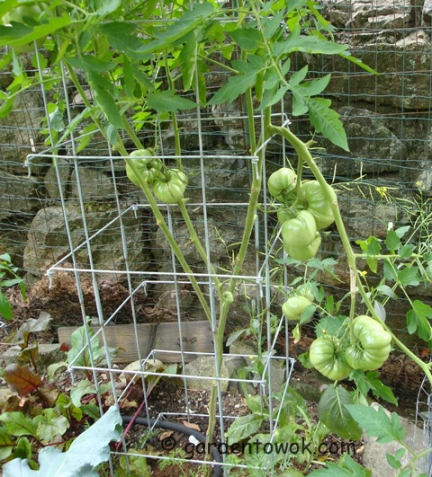 Tomatoes (5575)