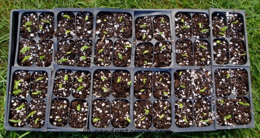 Sugar snap peas seedlings (5586)