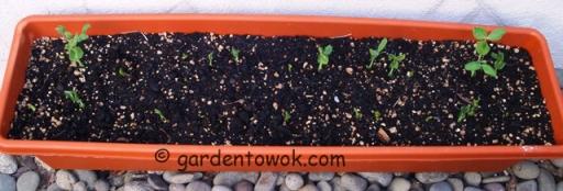 Sugar snap peas seedlings (5587)