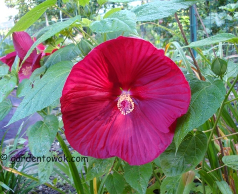 Perennial hibiscus (5590)