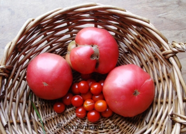 Tomatoes (5599)