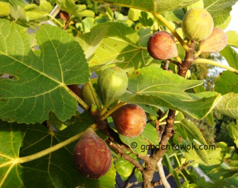 Figs (5621)