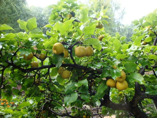 Asian pears (5647)