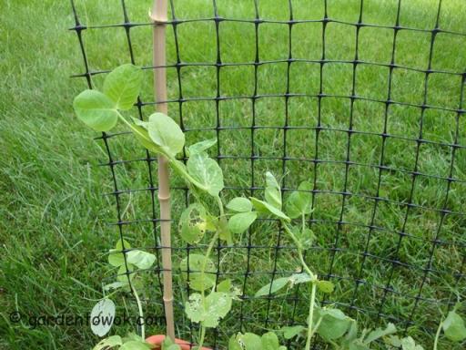 Pea shoots (5696)