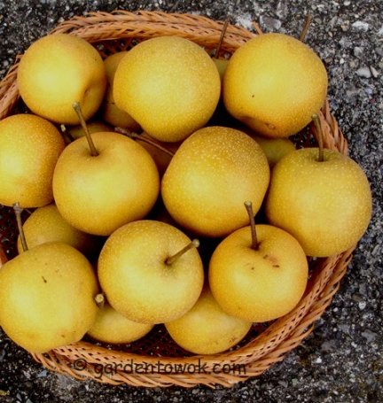 Asian pears (5714)