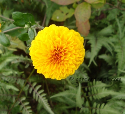 Chrysanthemum (5776)