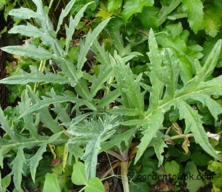 Artichoke plant (5780)