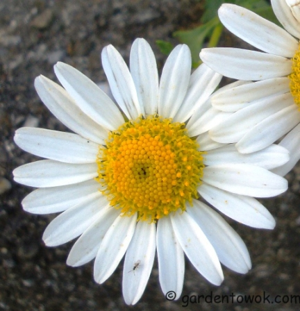 Fall blooming daisy (5783)