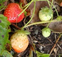 Strawberries (5875)