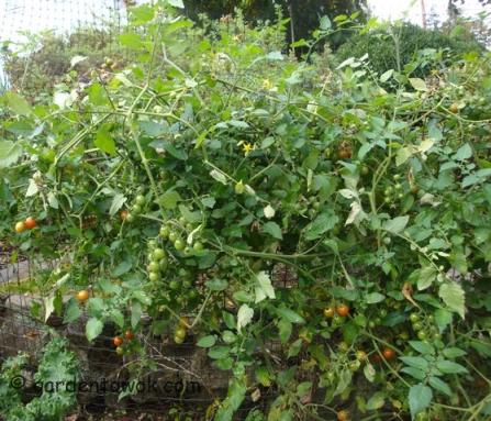Cherry tomatoes, jasper (F1) (5881)