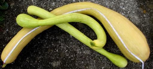 Tromboncino squash (5885)