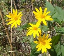 Sunchoke flowers (03906)