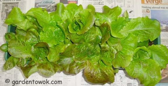 Windowbox lettuce (06089)