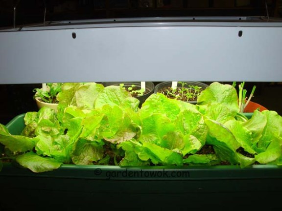 Lettuce under lights (06151)