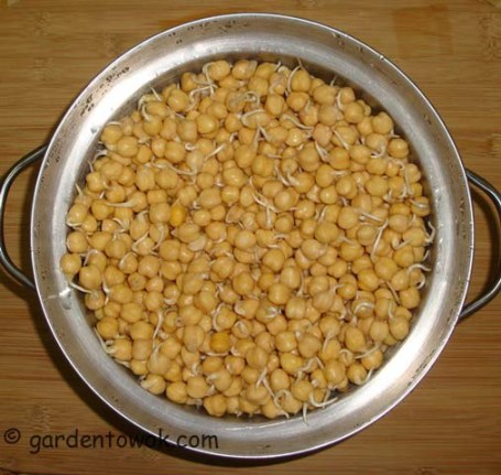 Chickpeas sprouts (06193)