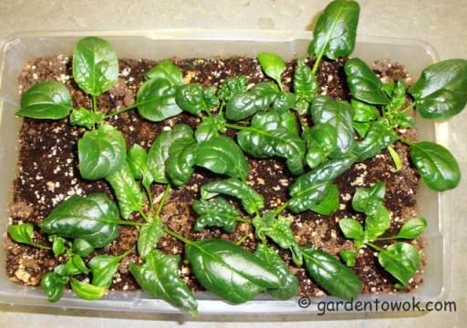 Spinach (06267)