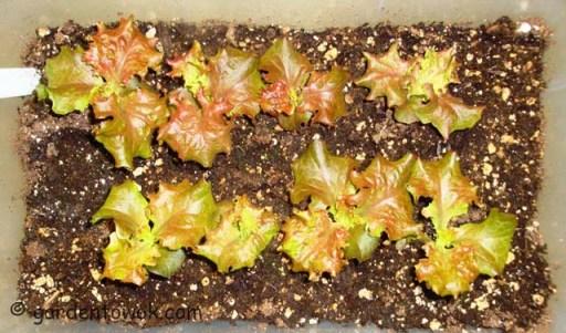 Leaf lettuce (06270)
