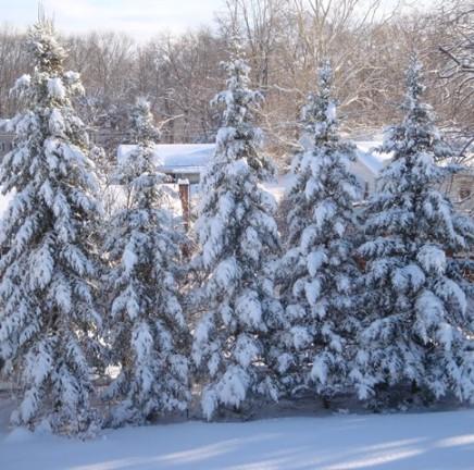 Balsam fir (06282)