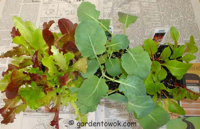 Lettuce, broccoli & swiss chard seedlings (06319)