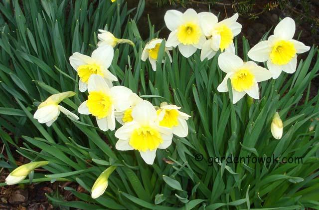 daffodils (06334)