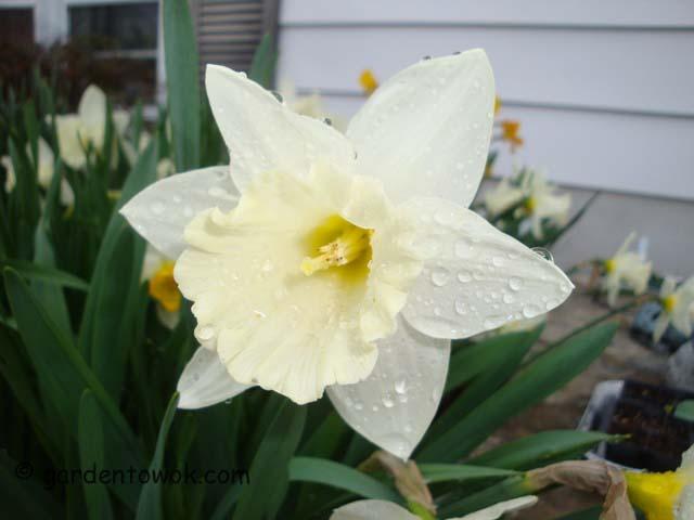 Daffodil (06368)