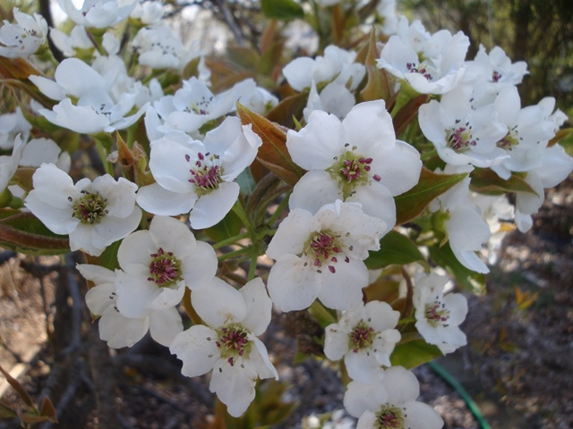 Asian Pear Flowers (06381)