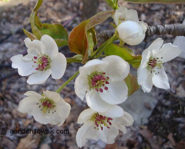 Asian Pear Flowers (06383)