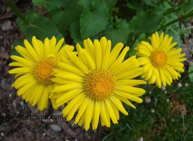 Yellow spring flowers (06397)