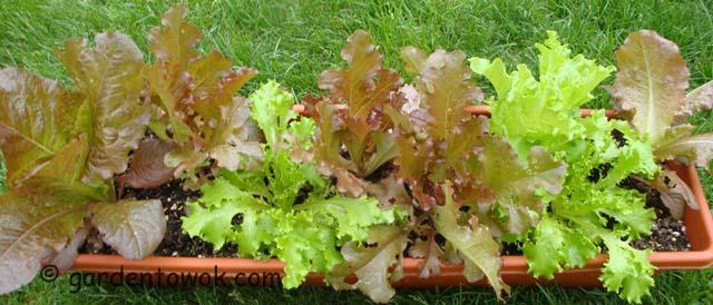 windowbox lettuce (06404)