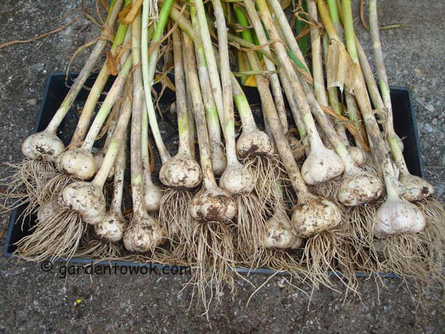 garlic, German white (06489)