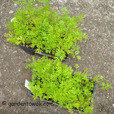 carrot seedlings (06518)