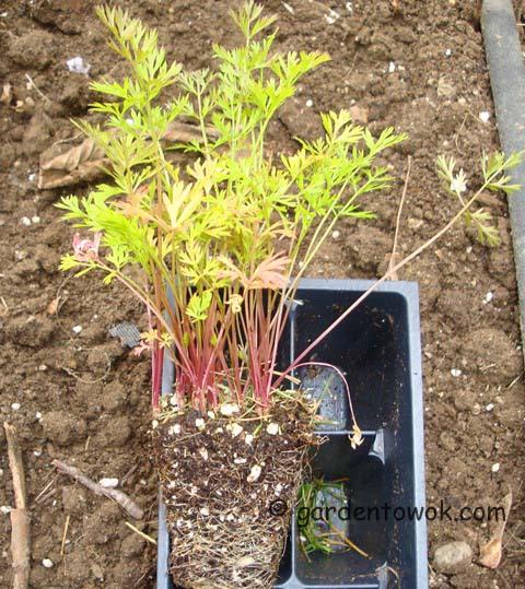 cosmic purple carrot seedling (06523)