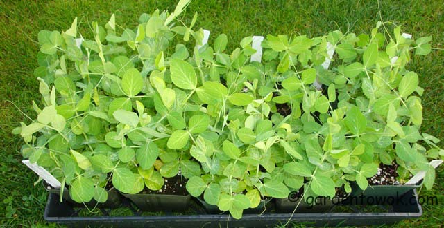 suger snap peas seedlings (06549)