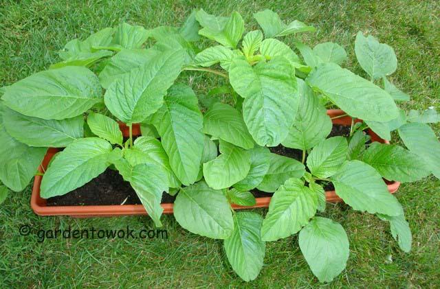 callaloo (green amaranth) (06583)