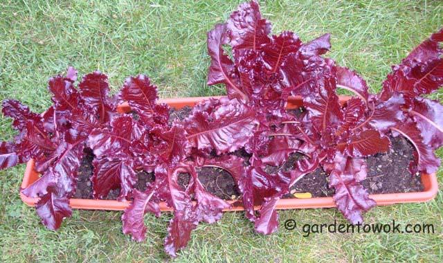 romaine garnet rose (06587)
