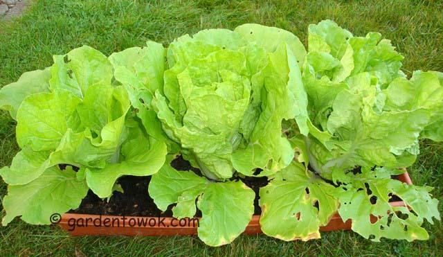 napa cabbage (06617)