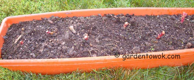 romaine garnet rose lettuce (06624)